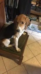Paco, chien Anglo-Français de petite vénerie