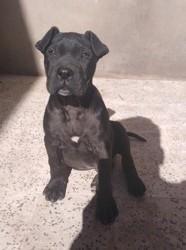Paco, chien Cane Corso