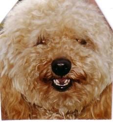 Paco, chien Caniche