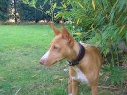 Paco, chien Cirneco de l'Etna