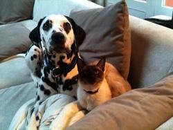 Paco, chien Dalmatien