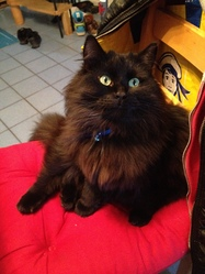 Paco, chat Sibérien