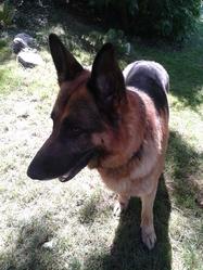 Paco, chien Berger allemand