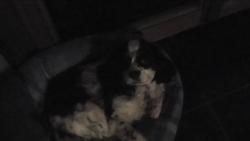 Paco, chien Cavalier King Charles Spaniel