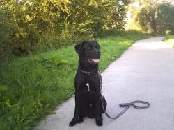 Paco, chien Labrador Retriever