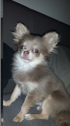 Paco, chien Chihuahua