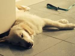 Paco, chien Golden Retriever