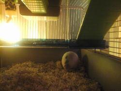 Paco, rongeur Hamster
