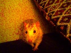 Padi, rongeur Rat