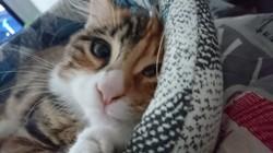 Padmé, chat Norvégien