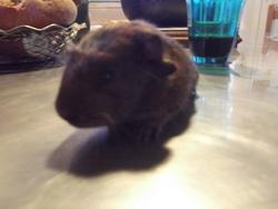 Paf , rongeur Cochon d'Inde