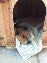 Paf, chien Beagle