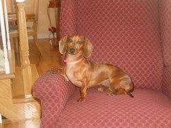 Paget, chien Teckel