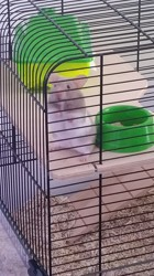 Pago, rongeur Hamster