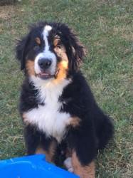 Paiko, chien Bouvier bernois