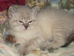 Pailette, chat Siamois