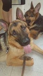 Paki, chien Berger allemand
