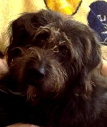 Pakito, chien Bouvier des Flandres