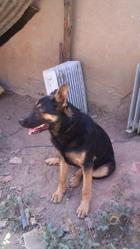 Pako, chien Berger allemand