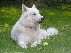 Pako, chien Berger blanc suisse