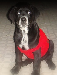 Pako, chien Labrador Retriever