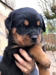 Palco, chiot Rottweiler