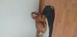 Palma, chien Beagle