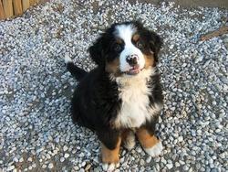Pam, chien Bouvier bernois