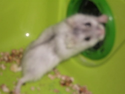 Pamplemousse, rongeur Hamster