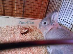 Pan-Pan, rongeur Lapin