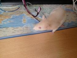 Panache, rongeur Rat