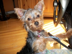 Pancho, chien Yorkshire Terrier