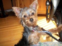 Pancho, chien Yorkshire Terrier