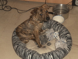 Pandora, chien