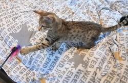 Pandora, chaton Savannah