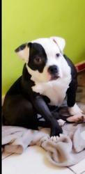 Pandora, chien Bullmastiff