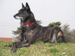 Pandore, chien Berger hollandais