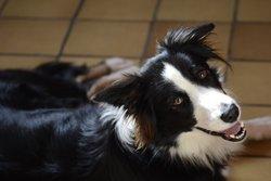 Pandore, chien Border Collie