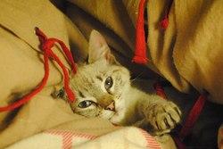 Pandore, chat Siamois