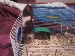 Pandou, rongeur Hamster