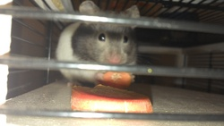 Pandy, rongeur Hamster
