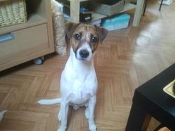 Pango, chien Parson Russell Terrier
