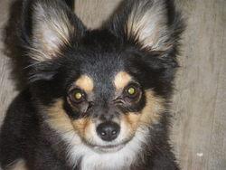 Panpan, chien Berger des Shetland
