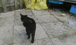 Panthéra, chat