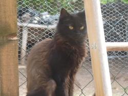 Panthère, chat Européen