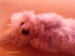 Pantoufe, chien Bichon maltais