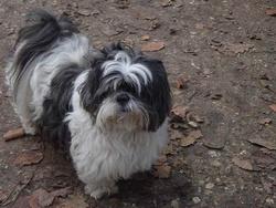 Pantoufle, chien Shih Tzu