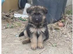 Pantoufle, chien Berger allemand