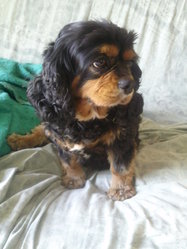 Pantoufle, chien Cavalier King Charles Spaniel