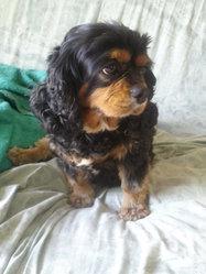 Pantoufle, chien Cavalier King Charles Spaniel